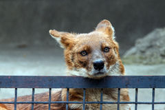 Roter Wolf hinter dem Zaun Stockbild