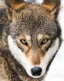 Roter Wolf in Schnee V Stockfoto