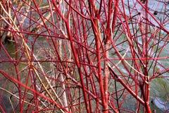 Roter Zweig-Hartriegel in Weißdorn-Teich Ende November lizenzfreies stockfoto