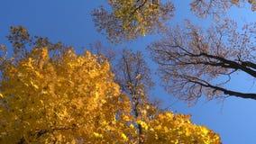 Roterande lönnträd med fallande sidor, sikt för hög vinkel stock video