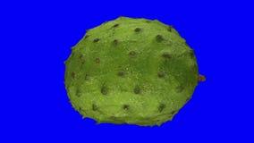 Roterende Zuurzak Graviola op Blauwe Achtergrond 03 stock video