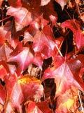 Rotes Acer palmatum im Herbst Lizenzfreies Stockbild