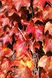 Rotes Acer palmatum im Herbst Lizenzfreie Stockfotos