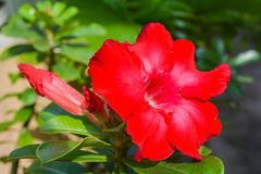 Rotes Adenium obesum Lizenzfreies Stockfoto