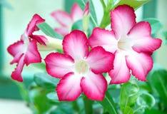 Rotes Adenium obesum, Wüstenblumen. Lizenzfreie Stockfotografie