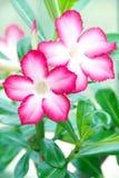 Rotes Adenium obesum, Wüstenblumen. Stockfoto