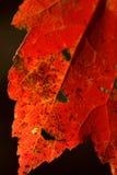 Rotes Ahornblatt Lizenzfreies Stockbild