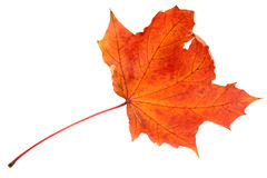 Rotes Ahornblatt, großer DoF Lizenzfreie Stockfotos