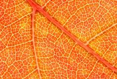 Rotes Ahornblatt-Makro Stockbilder