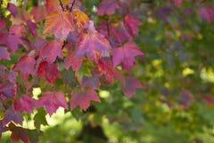 Rotes Ahornholz stockbilder