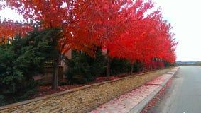 Rotes Ahornholz Stockfotografie