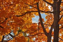 Rotes Ahornholz Stockbild