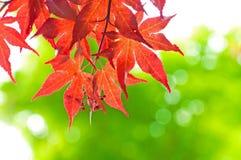 Rotes Ahornholz againt Grünbaum heraus fokussieren Stockbild