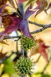 Rotes Ahornholz-Baum Stockbilder