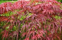 Rotes Ahornholz im Herbst Stockfotografie