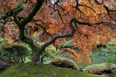 Rotes Ahornholz, japanischer Garten Stockfotografie