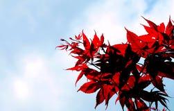 Rotes Ahornholz und blauer Himmel Lizenzfreie Stockbilder