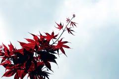 Rotes Ahornholz und blauer Himmel Stockfotos