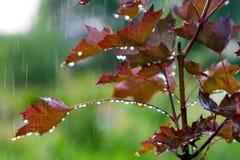 Rotes Ahornholz unter dem Regen Stockbild