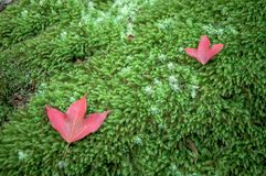 Rotes Ahornholz Urlaub lizenzfreie stockfotos