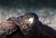 Rotes angebundenes Falkeschauen Stockfotografie