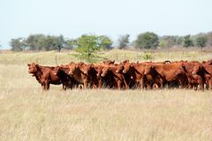 Rotes Angus-Vieh Lizenzfreies Stockbild