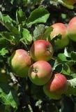 Rotes Apfelhängen Lizenzfreies Stockfoto