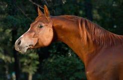 Rotes arabisches Pferdenportrait in dunkelgrünem Lizenzfreies Stockfoto