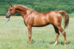 Rotes arabisches Stallionportrait am Sommer Lizenzfreie Stockbilder