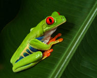 Rotes Augen-Baum-Frosch-Profil Stockfotos