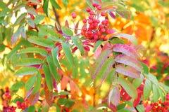 Rotes Bündel der Eberesche in den roten, gelben und grünen Leben Lizenzfreie Stockfotografie