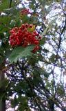 Rotes Beerenwachsen stockbilder