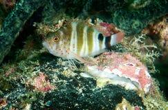 Rotes beschmutztes Hawkfish Stockbild
