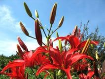 Rotes Blühen der Lilie Lizenzfreie Stockbilder