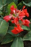 Rotes Blüte canna Stockbilder