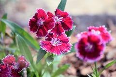 Rotes Blütenwachsen der Kalikoblume Lizenzfreie Stockbilder