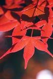 Rotes Blatt lizenzfreie stockfotografie