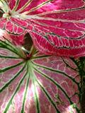 Rotes Blatt Stockbild