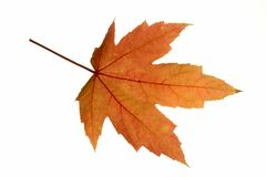 Rotes Blatt-Ahornholz Stockbild