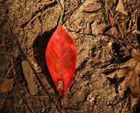 Rotes Blatt auf Forest Floor Stockfoto