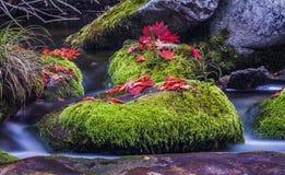 Rotes Blatt auf nassem Moosstein im Wasser lizenzfreie stockbilder