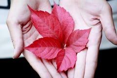 Rotes Blatt in den Händen Stockfotografie