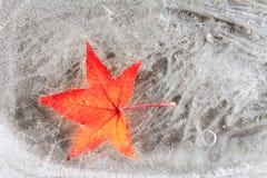 Rotes Blatt des Ahornholzes eingefroren in eiskalten Jahreszeitwinter Stockfotografie