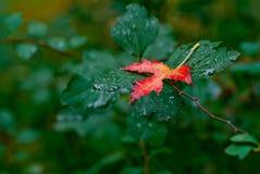 Rotes Blatt des Herbstes auf einem grünen Hintergrund lizenzfreie stockfotografie