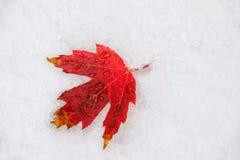 Rotes Blatt des Zuckerahorns Stockbilder