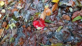Rotes Blatt im Wald Stockfotos