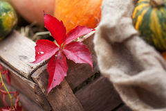 Rotes Blatt Parthenocissus quinquefolia in der Herbstzeit Stockfotografie