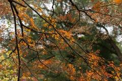 Rotes BlattAcer-palmatum Lizenzfreie Stockbilder