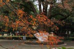 Rotes BlattAcer-palmatum Stockfotografie