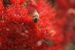 Rotes Bloodwood mit Biene Stockbilder